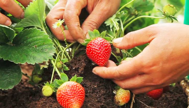 Bagus Arga Pelaga Bali - Agro Strawbery