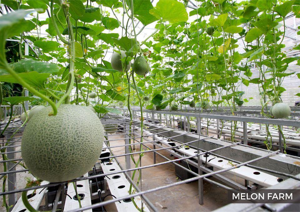 Eastparc Hotel Yogyakarta - Melon Farm