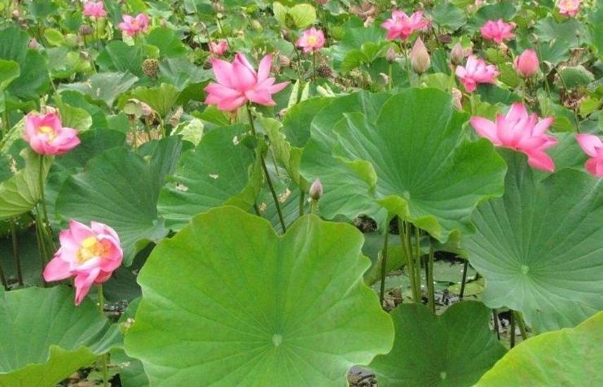 Taman Teratai Hotel Bogor - Bunga teratai