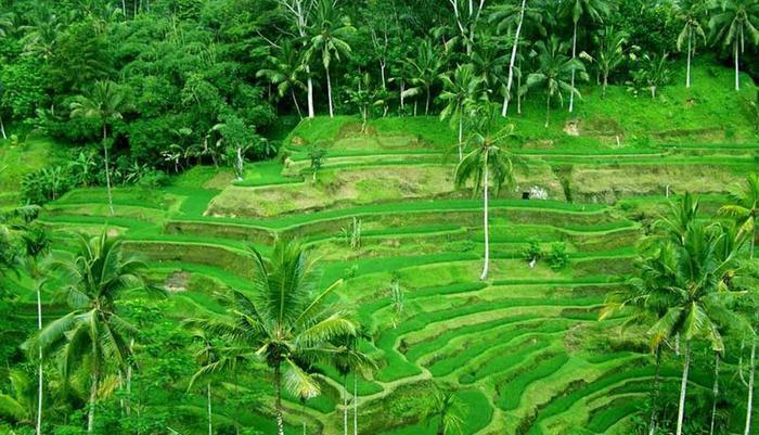 Ubud Green Ubud - Rice Field Ubud