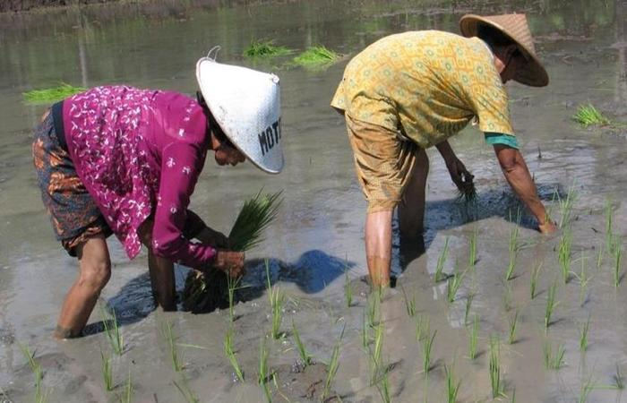 Lotus 2 Homestay Magelang - Menanam padi