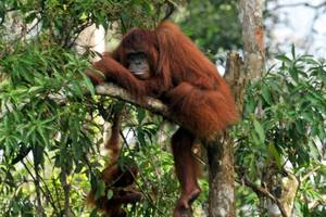 Rungan Sari Resort Palangkaraya - Orangutan Island