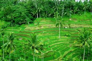 Ubud Green Ubud - Rice Field Ubud